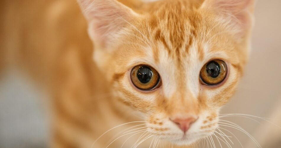 tabby-cats-facts-and-personality