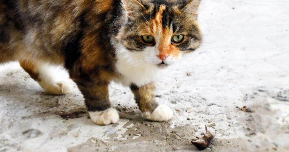 calico-cats