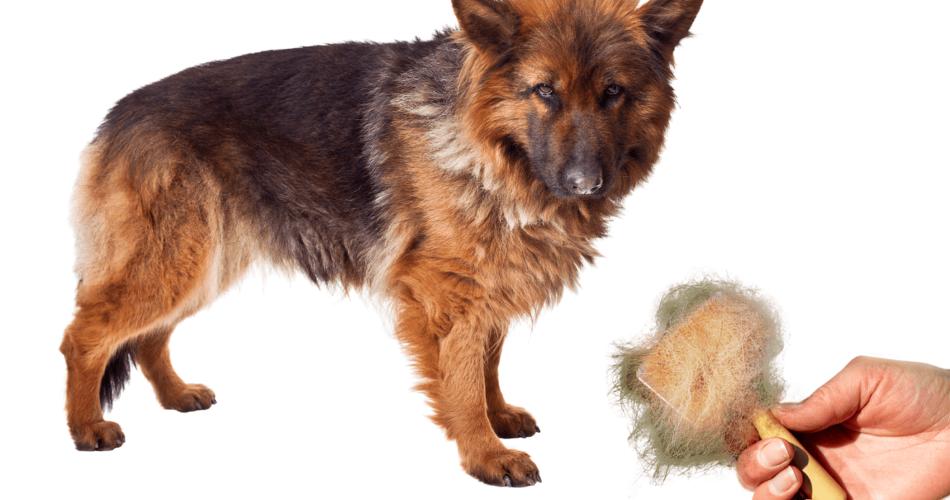 german-shepherd-shedding
