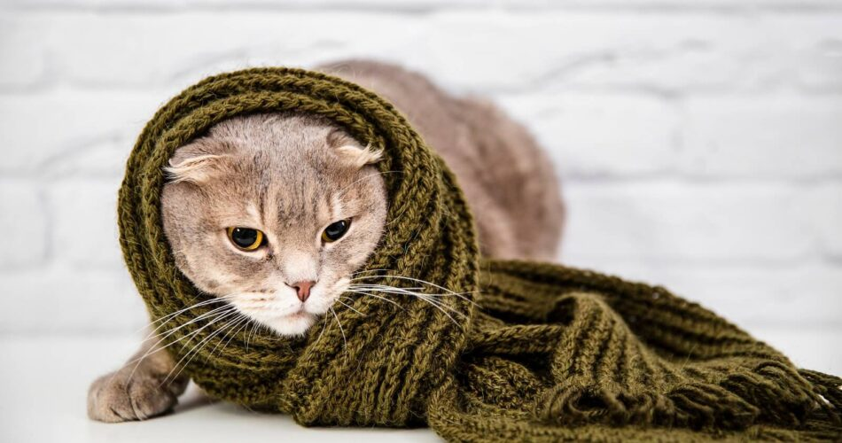 can cats catch colds from humans