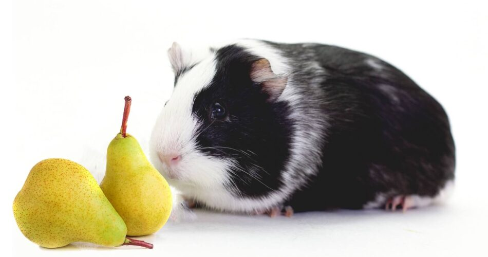 can-guinea-pigs-eat-pears